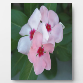 Blooming Beautiful Pink Impatiens Flowers Plaque