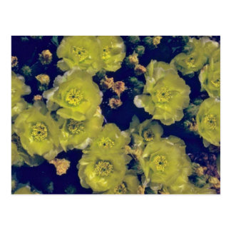 Blooming Beavertail Cactus flowers Postcard