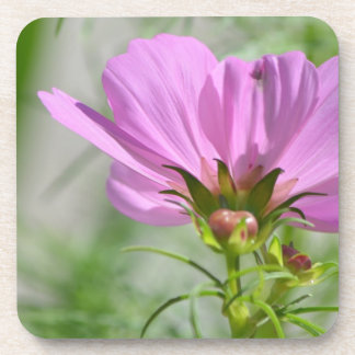 Blooming Cosmos Flowers Drink Coaster