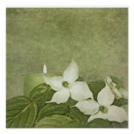 Blooming Dogwood Poster