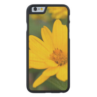 Blooming False Sunflowers Carved® Maple iPhone 6 Case