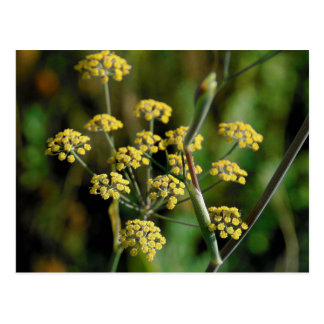 Blooming Fennel Postcard