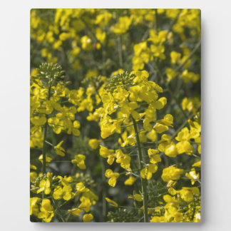 blooming field of rapeseed photo plaques