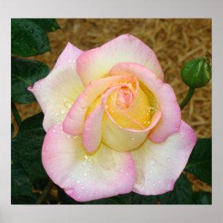 Blooming Gorgeous Pink Rose Poster