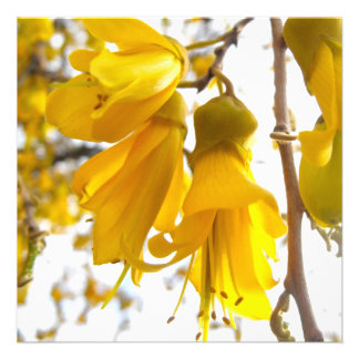 Blooming Kowhai Tree Announcements