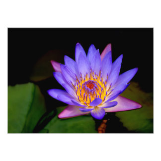Blooming Lily Pad Art Photo