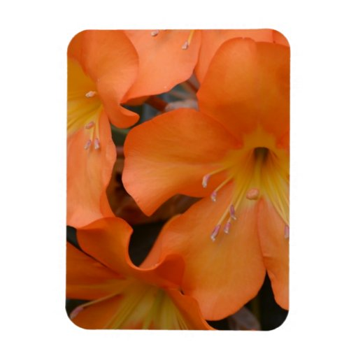 Blooming Orange Rhododendron Magnets
