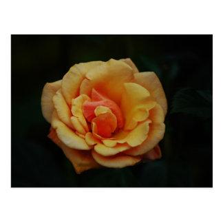 Blooming Peach Rose Postcard