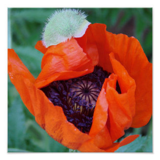 Blooming Poppy poster
