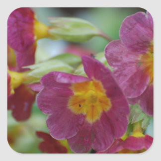 Blooming Primula Flowers Square Sticker