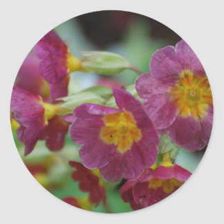 Blooming Primula Flowers Classic Round Sticker
