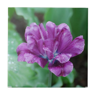 Blooming Purple Parrot Tulip Ceramic Tile