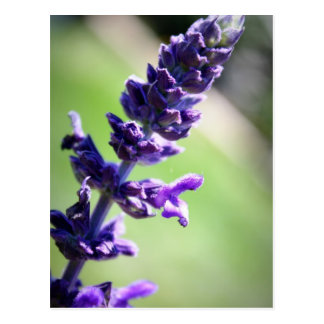 Blooming Purple Salvia Postcard