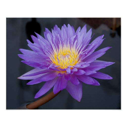 blooming purple water lily poster