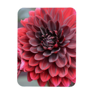 Blooming Red Dahlias Rectangle Magnet