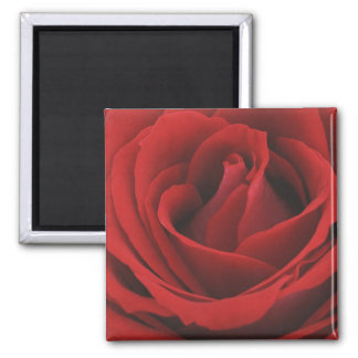 Blooming Red Rose Magnet
