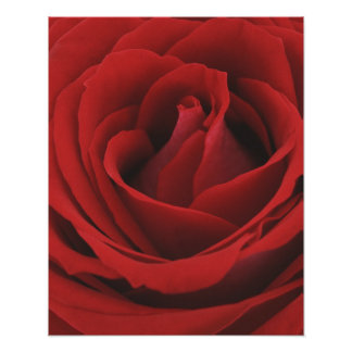Blooming Red Rose Poster