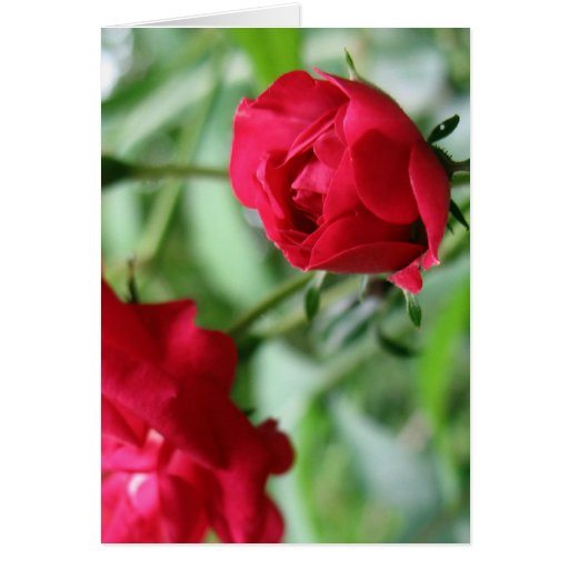 Blooming Rose Card