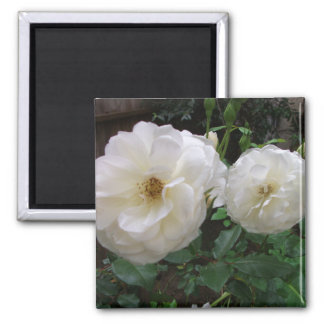 Blooming White Roses 2 Inch Square Magnet