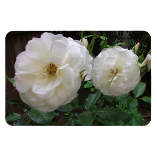 Blooming White Roses Magnet