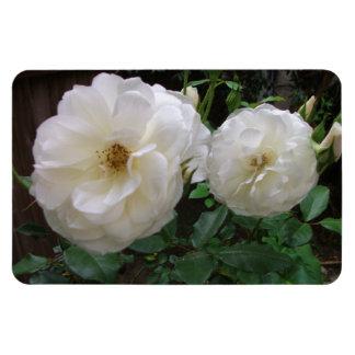 Blooming White Roses Rectangular Photo Magnet