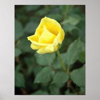 Blooming Yellow Rose Print