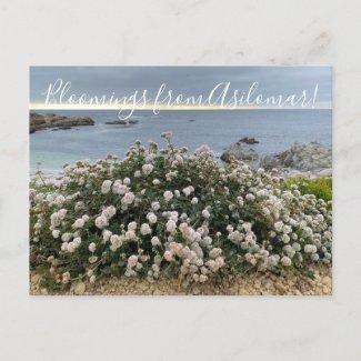 Bloomings from Asilomar: Sea Cliff Buckwheat  Postcard