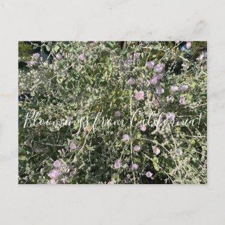 Bloomings from California: Bush Mallow Postcard
