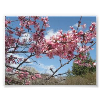 Bloosoms rosado contra el cielo de la primavera impresion fotografica