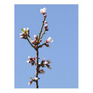 Blossom Branch Postcard