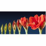 Blossoming Amaryllis Flower Standing Photo Sculpture