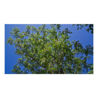 Blossoming China Berry Tree Poster