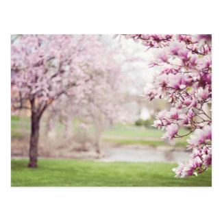 Blossoming Magnolia Trees Postcard