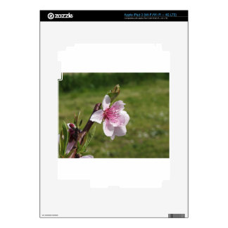 Blossoming peach tree against the green garden skins for iPad 3