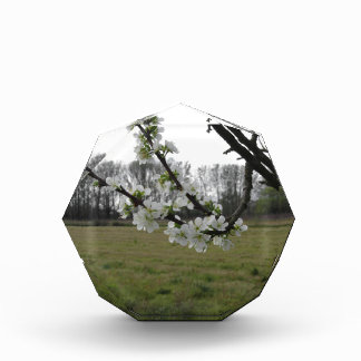 Blossoming plum . Flowering white tree in spring Acrylic Award