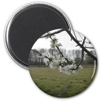 Blossoming plum . Flowering white tree in spring Magnet