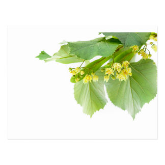 Blossoming twig of limetree or linden tree postcard