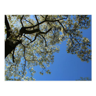 Blossoming White Magnolia tree against blue sky Postcard