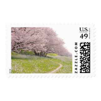 Blossoming Yoshino cherry trees in a field of Stamp