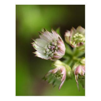 Blossoms of a great masterwort postcard