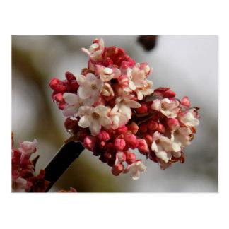 Blossoms Postcard
