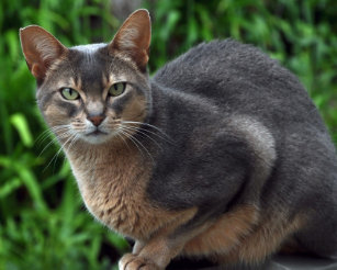 Abyssinian Cat Blue
