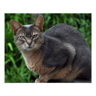 Blue Abyssinian cat - poster