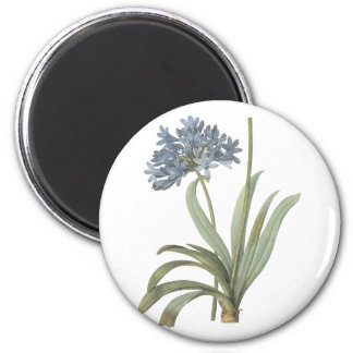 blue African lily(Agapanthus) by Redouté 2 Inch Round Magnet