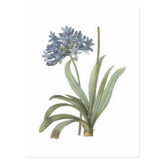 blue African lily(Agapanthus) by Redouté Postcard