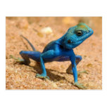 Blue Agama Sinaita Lizard Post Cards