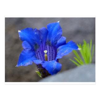 Blue Alpine Enzian Flower Postcard