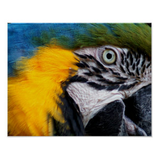 Blue and Gold Macaw 11x14 poster