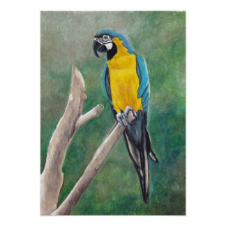 Blue and Gold Macaw Bird Art Poster