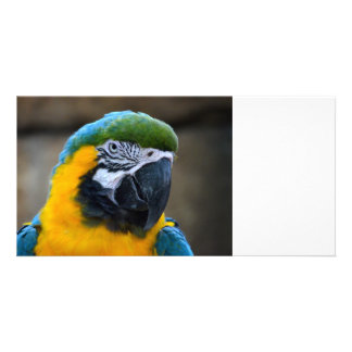 blue and gold macaw parrot head view c picture card